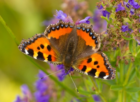 Small tortoiseshell butterfly nectaring on purple flowers